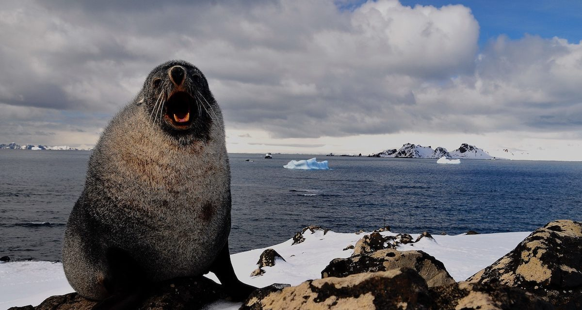 Research brief: Tagged seals unlock secrets of eddy driven transport in Antarctica