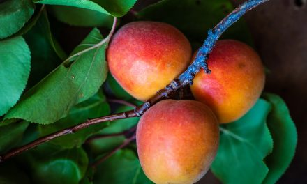 What does using climate change science look like?: A Northern Territory mango industry use case